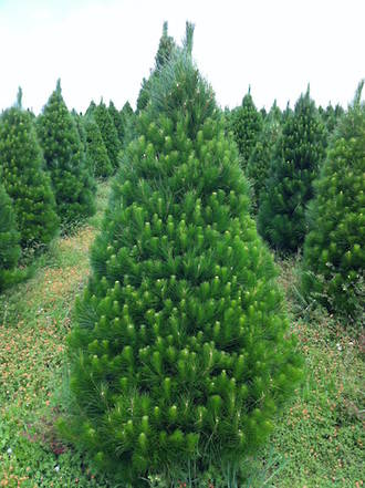 Fresh cut Xmas Trees - OPENING DEC 1st 2019: M - F 9am - 7pm & Sat - Sun 8am - 7pm