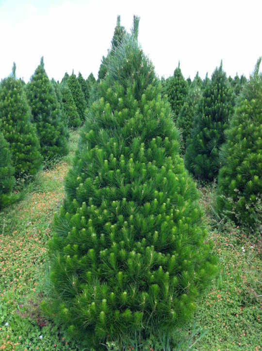 Fresh cut Xmas Trees - Open Weekdays 9am - 7pm & Weekends 8am - 8pm